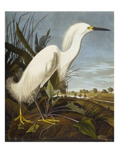Snowy Heron or White Egret / Snowy Egret (Egretta Thula), Plate CCKLII, from 'The Birds of America' Art Print at AllPosters.com