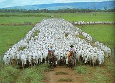 Colombia Llanos Orientales - Cattle Farming, Livestock, Colombian Cities, Water For Health, Beef Cattle, Colombia Travel, Country Landscaping, Ranch Life, Down On The Farm