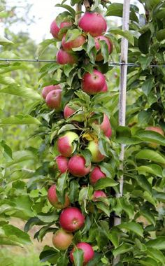 Säulenäpfel richtig schneiden und pflegen Colza apples are becoming increasingly popular because they are also suitable for small garden areas and the container planting. These tips should be taken into account when editing and maintaining. Organic Fertilizer, Organic Gardening, Urban Gardening, Gardening Tips, Is Organic Better, Soil Improvement, Market Garden, Diy Garden Projects, Plantation