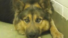 **EUTH LISTED FOR TUES 3/4/13** SUPER URGENT, BEGGING FOR HELP GSD BOY - ID#A418993   I am described as a male, black and tan German Shepherd Dog and Chow Chow. I am about 2 years old.    I have been at the shelter since Feb 19, 2013 and I am available for adoption now!   Moreno Valley Animal Services  14041 Elsworth Street  Moreno Valley, CA 92553  Voice(951)413-3790   Fax(951) 656-2662