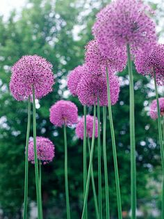 Aflatunense - One of the most common types, this winner offers dense globes to 4 inches wide of pink-purple flowers.  Name: Allium aflatunense