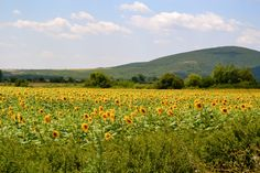 Bulgaria.  I was on a UN peacekeeping mission in Eastern Europe in the mid 90's.  Sunflowers were EVERYWHERE!