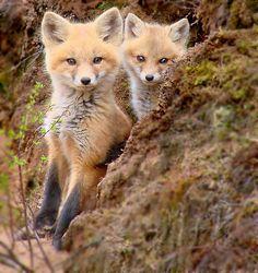 Red fox kits  //  http://www.flickr.com/photos/84166298@N06/9506683106/