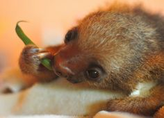 Baby sloth eating a green bean.... Omg