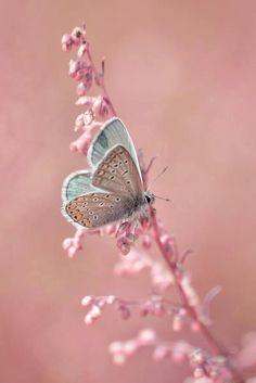 soft blue butterfly on pink blossums