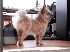 Found Dog - Cairn Terrier - Hamilton, OH, United States 45011 on July 04, 2016 (12:30 PM)