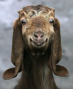 This is a happy goat, but did you know goats sometimes faint when you scare them? Happy Animals, Farm Animals, Animals And Pets, Funny Animals, Cute Animals, Smiling Animals, Smiling Faces, Wild Animals, Beautiful Creatures