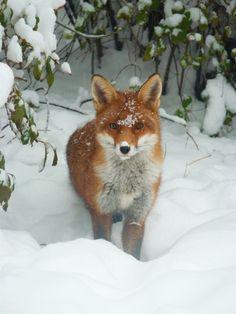 Snow-dusted  fox  #red_fox #Vulpes_vulpes
