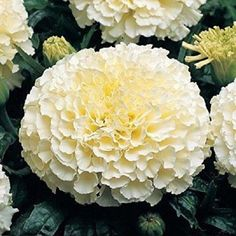 Marigold Seeds✼French Vanilla✼Soft Color Same as Rich Vanilla Ice Seeds Marigolds In Garden, Garden Plants, House Plants, Flower Seeds, Flower Pots, Planting Seeds, Planting Flowers, White Flowers, Beautiful Flowers