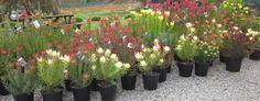 Protea World, Protea Plants Online - Buy Protea Flowering Plants Online Protea Plant, Slide Background, Australian Garden, Plants Online, Planting Flowers, World, Google Search, Peace, The World