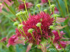 Echinacea -Ogród wśród pól i wiatrów - strona 709 - Forum ogrodnicze - Ogrodowisko Plants, Flora, Plant