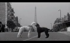 """Humans go to Vegas. Poodles go to Paris. It's natural. Poodles from """"Love in the Afternoon"""" (1957) with Audrey Hepburn and Gary Cooper..."""