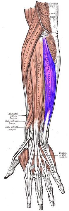 Extensor carpi ulnaris ORIGINATES from the 1. lateral epicondyle of the humerus and 2. posterior border of the ulna, and crosses the forearm to the ulnar (medial) side to INSERT at the base of the 5th metacarpal. It extends the wrist, but when acting alone inclines the hand toward the ulnar side; by its continued action it extends the elbow-joint.