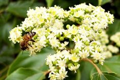 over 150 Seeds Honey Tree Evodia tetradium di HoneyTreeandBehind