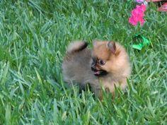 Precioso cachorro pomerania (pomeranian) de Criadero Cantillana. Visita nuestra web www.criaderocantillana.com buscanos en Facebook