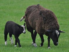 Balwen Welsh Mountain Sheep Pictures Pet Sheep, Welsh, Cow, Mountain, Pictures, Animals, Sheep Breeds, Sheep, Spiders