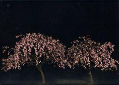 #GiovanniCastell - #Kirschbäume, 2010, C-print on diasec face, Ed.7+2AP, 80x100 cm
