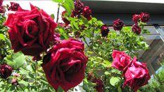 Os presentamos a nuestras compañeras vegetales. Éstas son las flores que adornan el jardín de la villa. Así de bonitas nos esperan cada mañana para darnos los buenos días y colorearnos los lunes. Las compartimos con todos vosotros para desearos también un feliz lunes a todos.