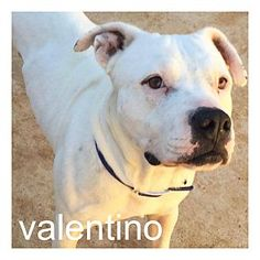 Dallas Tx American Pit Bull Terrier American Bulldog Mix Meet Valentino A He S Had A Rough Start To Life But Has R Pitbull Terrier American Pitbull Terrier