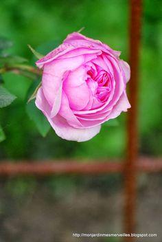 Rosa 'Mme Ernest Calvat'