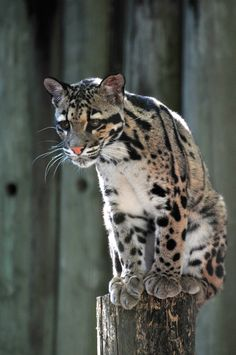 Cat on a pedestal by *Norbi2010 on deviantART | Malee, the young female clouded leopard (Neofelis nebulosa nebulosa) at Lowry Park Zoo, Tampa, FL