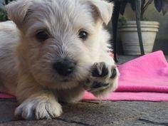 Scottish Terrier # khala # Tartans