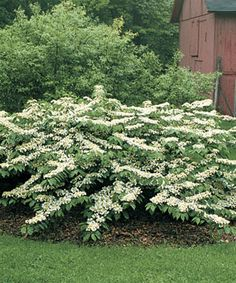 Shrubs - Learn how to grow viburnums, a versatile shrub for year-round color that's great for foundation plantings and acts as a dynamic focal point. Garden Shrubs, Flowering Shrubs, Garden Trees, Trees And Shrubs, Shade Garden, Trees To Plant, Garden Plants, Garden Landscaping, Landscaping Ideas