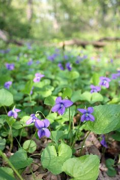 This is what a woodland violet looks like!!! meaning this is a woodland violet