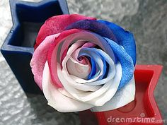 Red,White and Blue, 4th of July Rose