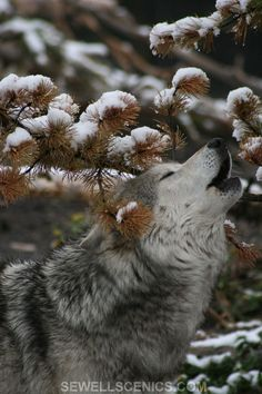 Reminds me of my first wolf, Dioni...she'd howl & look so peaceful when she did