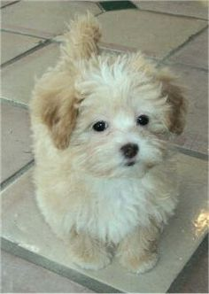 Shih-Poo: shih tzu & a poodle mix Shih Poo Puppies, Baby Puppies, Baby Dogs, Cute Puppies, Pet Dogs, Dogs And Puppies, Dog Cat, Chihuahua, Doggies