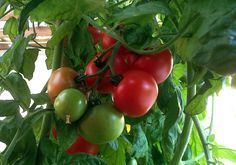 Tomater i drivporten i min lille have