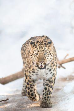 brazenbvll:  Amur| Jake Penrose