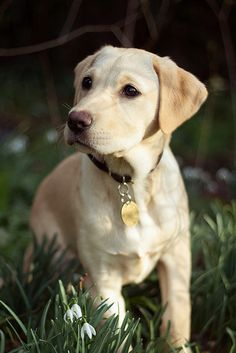Yellow Labrador Retriever Puppy Dog Puppies Hound Dogs Labs