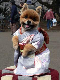 shiba inu in a kimono. omg the cuteness! - I think this actually looks like a Pomeranian.