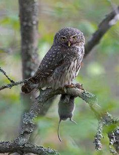 Owl Photos, Beautiful Owl, Cute Owl, Pet Birds, Life Is Good, Natural Beauty, Wildlife, Nature, Google Search