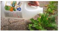 Put Vinegar On Your Plants, And See What Happens. Vinegar has myriads of uses in the kitchen but did you know that it also has many uses in the garden?
