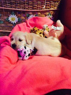 Naira.  #goldenretriever #puppy #love #buonamotte