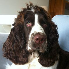 English Springer Spaniel ~ love the little tuft on the top!