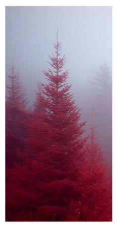 Fog enshrouded Fraser firs in the Blue Ridge Parkway of North Carolina.