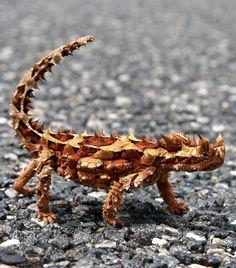 Thorny Devil (Moloch horridus) is an Australian lizard. It is also known as the Thorny Dragon, Mountain Devil, Thorny Lizard