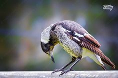 Photograph of cute old man #magpie checking out his feet https://fliiby.com/file/g80s3rzzj03/?utm_content=bufferb88ec&utm_medium=social&utm_source=pinterest.com&utm_campaign=buffer #photograph #bird #nature #photo
