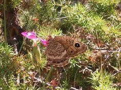Papillon butine butine l'œillet sauvage