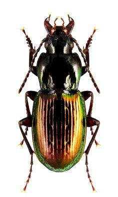 Pterostichus bicolor