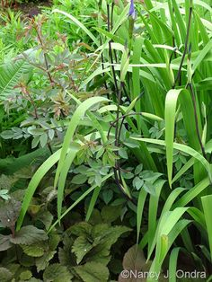 Iris 'Gerald Darby' with Rosa glauca and Cryptotaenia japonica f. atropurpurea; Nancy J. Ondra at Hayefield