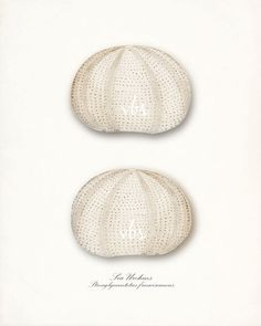 Two Sea Urchin Sea Shells Illustration by vintagebytheshore, $15.00