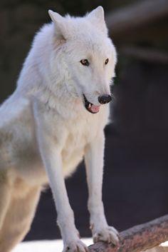 Tumblr I love wolves