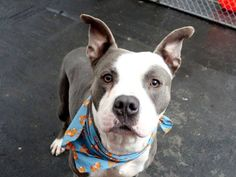 SAFE 12/17/14!  Was TO BE DESTROYED - 12/17/14 Manhattan Center -P  My name is FRED. My Animal ID # is A1022537. I am a male gray and white american staff mix. The shelter thinks I am about 2 YEARS  For more information on adopting from the NYC AC&C, or to  find a rescue to assist, please read the following: http://urgentpetsondeathrow.org/must-read/