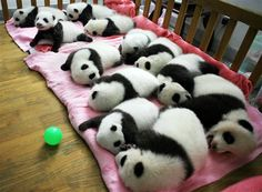 BABY PANDAS. If they don't make you smile, nothing will.