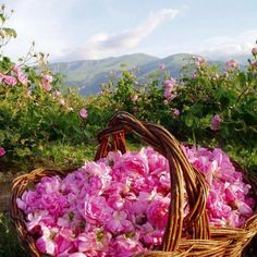 Bulgarian roses  click for more